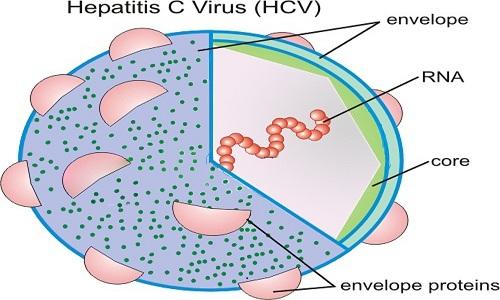 Virus viêm gan C